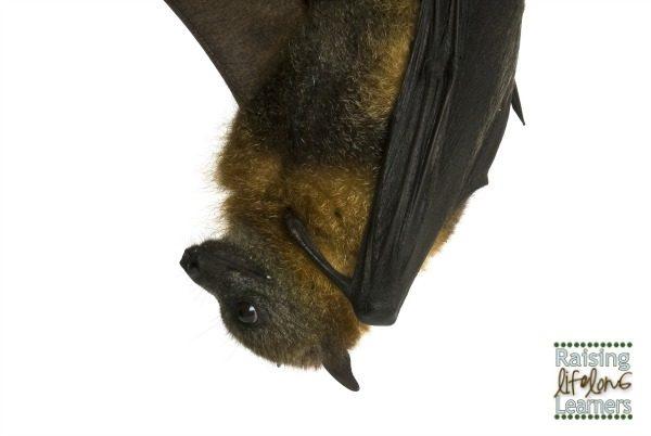 Preschool Science - Bats via www.RaisingLifelongLearners.com
