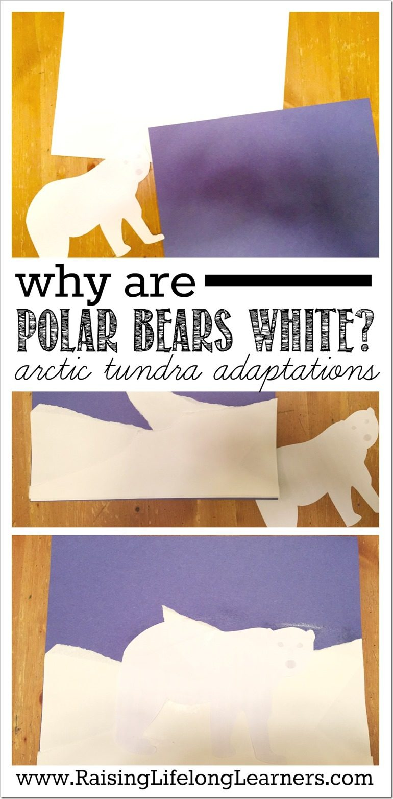 Why Are Polar Bears White | Animal Adaptations on the Arctic Tundra