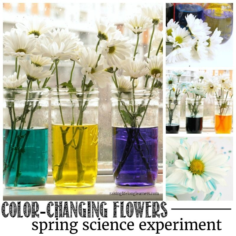 learn everything you need to know about how flowers and plants drink water in this colorful color changing flowers science experiment!
