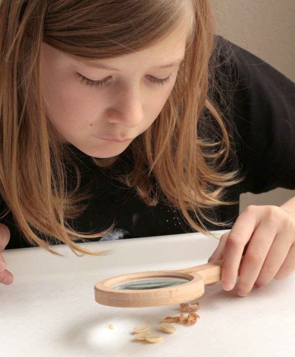 Learn about the parts of a seed in this simple activity to dissect a bean seed. It's a simple kitchen science project all kids will love!