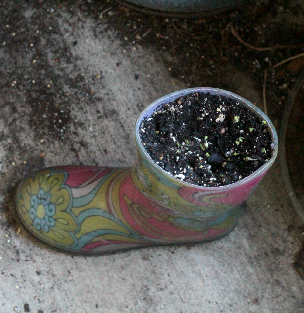 Have old rainboots that no longer fit? Turn them into rainboot sprout gardens to learn all about the seeding process and how to sprout seeds properly!